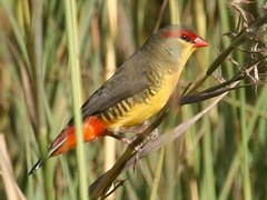 orange-breasted-waxbill-special