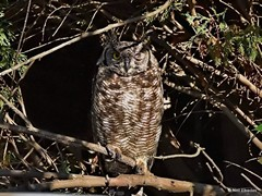 spotted-eagle-owl-special